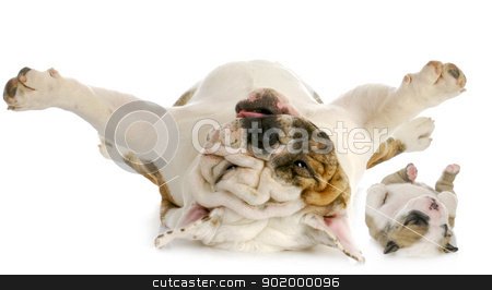 dogs upside down stock photo, dog and puppy upside down - english bulldog and puppy laying on backs isolated on white background by John McAllister