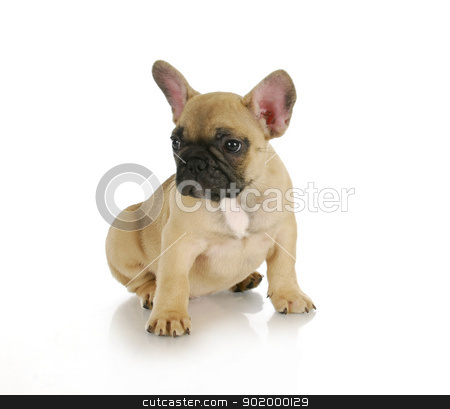 cute puppy stock photo, cute puppy - french bulldog sitting on white background - 8 weeks old by John McAllister