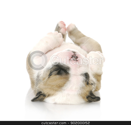 puppy upside down stock photo, puppy upside down - cute english bulldog puppy upside down - 3 weeks old by John McAllister