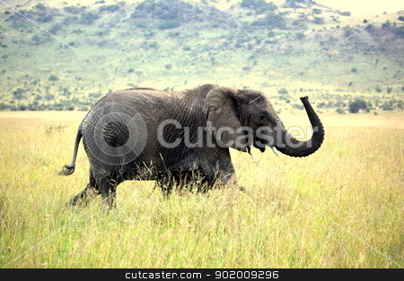 The Happy Elephant stock photo, After covering himself with mud, a male elephant waves his trunk happily as he crosses the Serengeti by Andrew Chin
