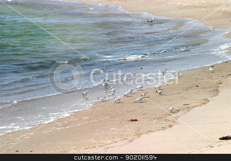 Western Sandpiper stock photo, Very small western sandpiper at a beach in California. by Henrik Lehnerer