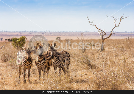 Zebras looking to the camera stock photo, Kenya, Tsavo East National Park. Three zebras looking to the photographer, sunset light by Perseomedusa