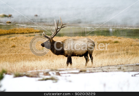 Bull Elk in the Mist stock photo, Bull Elk in the mists of Yellowstone Park, Wyoming USA by emattil