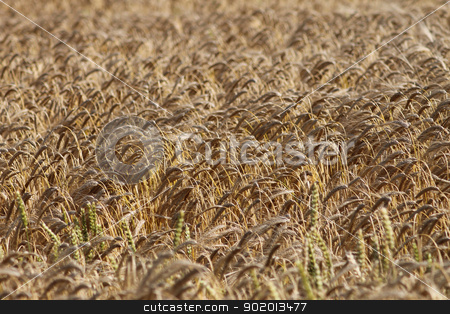 Background of ripe corn field stock photo, Background of ripe corn field blowing in the wind. by Martin Crowdy