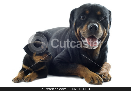 rottweilers stock photo, portrait of a purebred puppy rottweiler and adult in front of white background by Bonzami Emmanuelle
