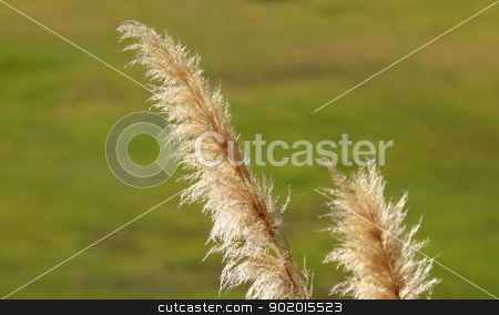Pampas Grass stock photo, Close up of pampas grass with a green blurred background by Henrik Lehnerer