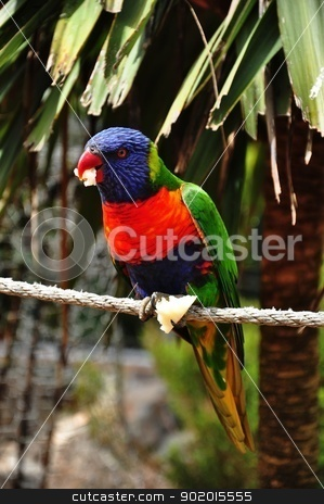 rainbow lorikeet stock photo, a rainbow lorikeet was eating an apple at the backyard by malaysiaguy