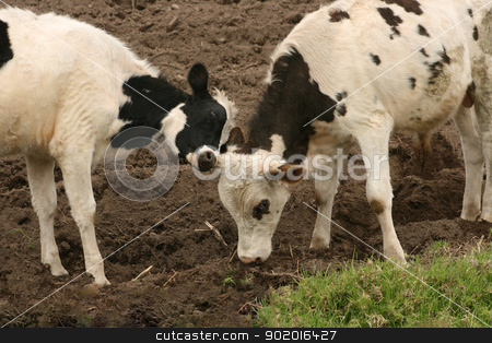 Young Cow and Bull Pushing stock photo, A young Hershey cow and bull butting heads in a farmers pasture in Cotacachi, Ecuador by Robert Hamm
