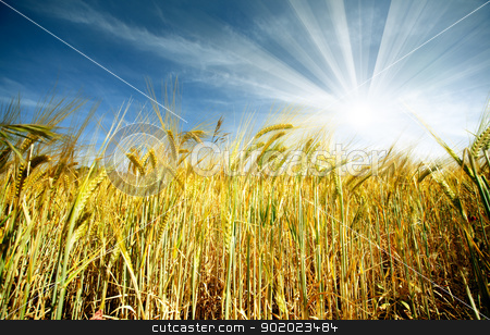 wheat field stock photo, Idyllic wheat field and sunshine by carloscastilla
