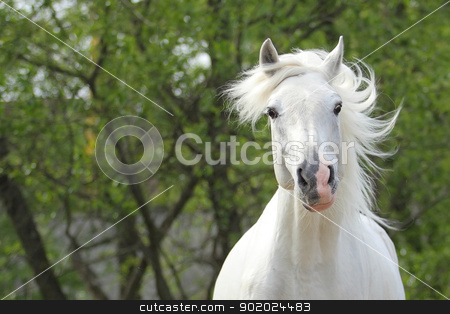 Orlov trotter stock photo, The Orlov trotter named Kunzhut - prize winner of the St. Petersburg International Horse Exhibition