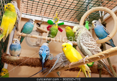 Budgies stock photo, Multicolored budgies sitting in cage by Yulia Chupina