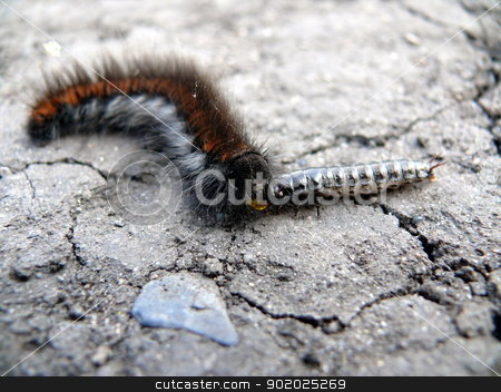 Caterpillar eats other insect stock photo, Caterpillar eats other insect by Stoyanov