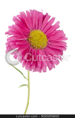 Pink daisy flower  stock photo, Pink daisy flower isolated on white background. by Homydesign