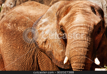 Elephant face stock photo, Face of Beautiful endangered African elephant with short ivory tusks. by Paul Hakimata