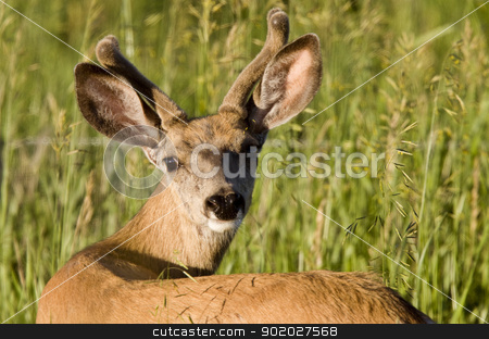 Close Up Deer stock photo, Close Up Deer looking in Saskatchewan Canada by Mark Duffy