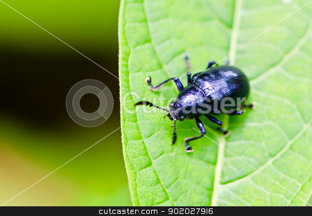 Beetle on the leaves. stock photo, Cryptocephalus (Cryptocephalus) transcaucasicus Jacobson, 1898 Close-Up. on the leaves. by chatchai