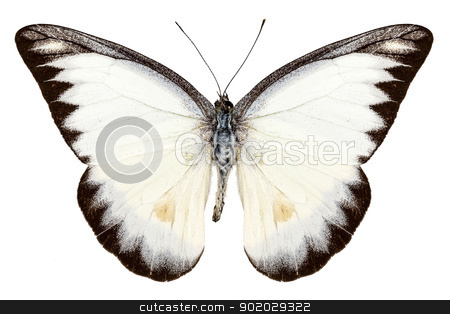 White butterfly species Appias lyncida stock photo, White butterfly species Appias lyncida isolated on white background by paulrommer