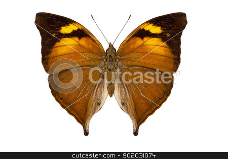 butterfly species Doleschallia bisaltide pratipa stock photo, butterfly species Doleschallia bisaltide pratipa isolated on white background by paulrommer