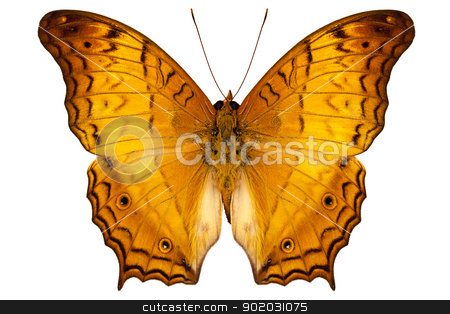 butterfly species Vindula dejone austrosundana stock photo, butterfly species Vindula dejone austrosundana isolated on white background by paulrommer
