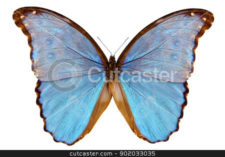 Butterfly species Morpho godarti assarpai stock photo, Butterfly species Morpho godarti assarpai isolated on white background by paulrommer