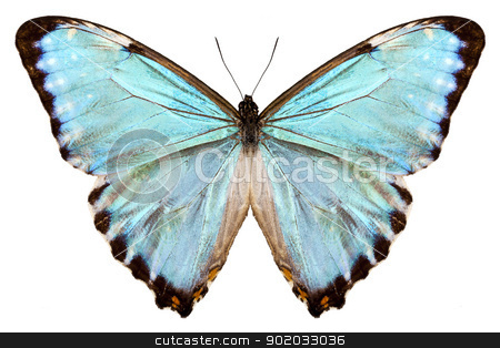 blue butterfly species Morpho portis thamyris stock photo, butterfly species Morpho portis thamyris isolated on white background by paulrommer