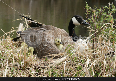 Canada Goose with Gosling Nestled Under a Wing stock photo, A female Canada Goose sitting on her nest incubating eggs while keeping a newly hatched gosling warm under her wing by Robert Hamm