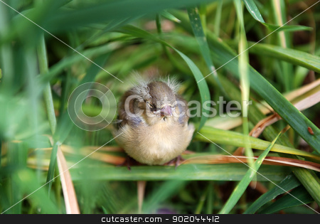 Fledgling chaffinch alone in tall grass stock photo, Fledgling chaffinch sitting with its eyes closed in tall grass by Sarah Marchant