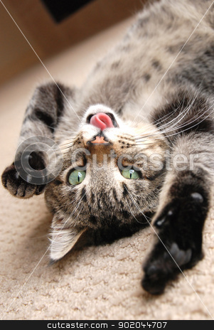 Playing kitten with tongue out stock photo, A cute tabby kitten on the floor, playing with his tongue stuck out by Damien Richard