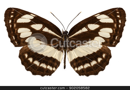 Butterfly species Neptis hylas