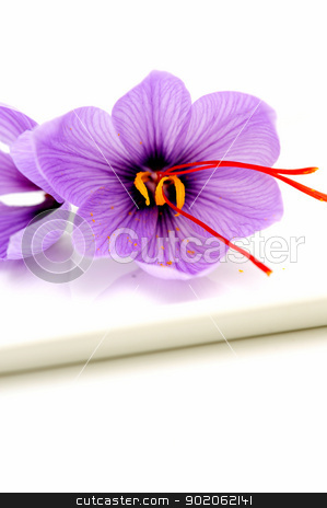 Saffron Flowers stock photo, Fresh Saffron flowers known also as Crocus sativus used as a spice for flavoring and coloring food especially rice. by Lynn Bendickson