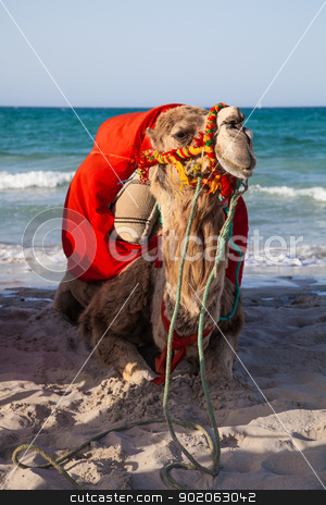 Camel sitting over sea background  stock photo, Camel sitting over sea background - Djerba Tunisia by Fabrizio Zanier
