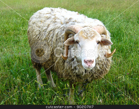 ram standing on the green grass stock photo, The image of ram standing on the green grass by Alexander Matvienko
