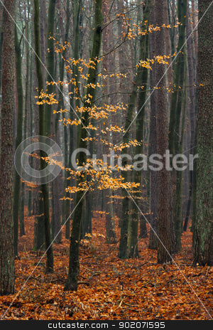 Hornbeam tree in forest. stock photo, Hornbeam tree in forest - fallen red autumn leaves. by Piotr Skubisz