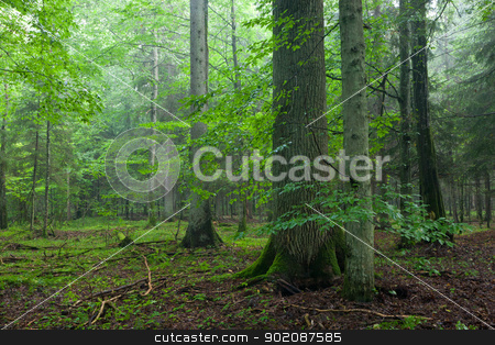 Misty morning deciduous stand with old oak tree stock photo, Misty morning deciduous stand with old oak tree in foreground and spruces in background by Aleksander Bolbot