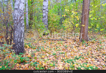 In autumn birch forest. stock photo, In autumn forest. Birch grove with yellow leaves. by Sergei Devyatkin