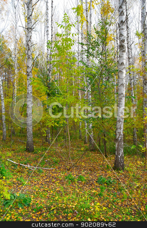 Autumn birch grove stock photo, Autumn birch grove by Sergei Devyatkin