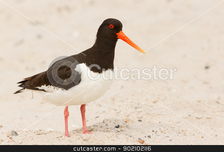 An oystercatcher stock photo, An oystercatcher on the beach by michaklootwijk