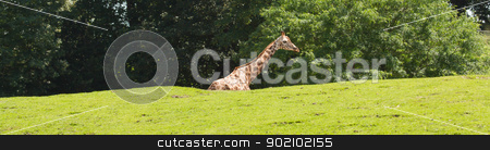 A giraffe in a dutch zoo  stock photo, A giraffe in a dutch zoo (Emmen) by michaklootwijk