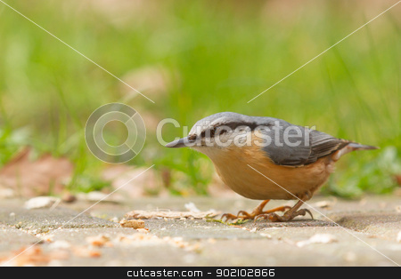 A Nuthatch on the ground stock photo, A Nuthatch on the ground eating peanuts by michaklootwijk