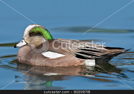 American Wigeon (Anas americana) stock photo, Adult male American Wigeon swimming in pond.  by Glenn Price