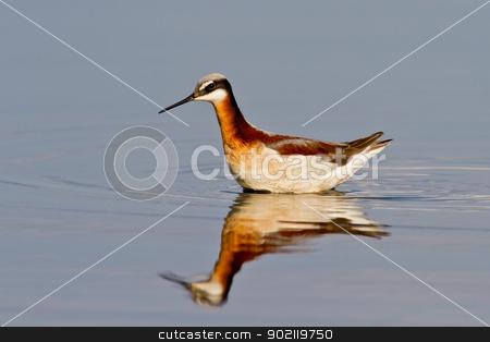 Wilson's Phalarope (Phalaropus tricolor) stock photo, Adult female Wilson's Phalarope in breeding plumage swimming in shallow water. by Glenn Price
