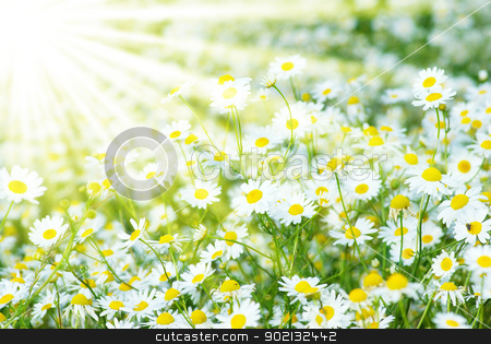 camomiles background stock photo, Summer field with a lot of camomiles by Vitaliy Pakhnyushchyy