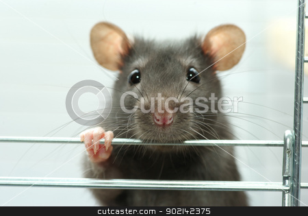 rat  stock photo, funny black rat sits in cage by Vitaliy Pakhnyushchyy