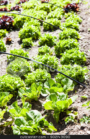 Vegetable Garden stock photo, A small vegetable garden with salad during summer season, vivid colors and planty of details by Perseomedusa