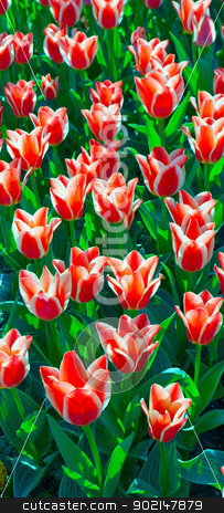 flower tulips stock photo, Field red flower tulips background vertical.  by Vladyslav Danilin