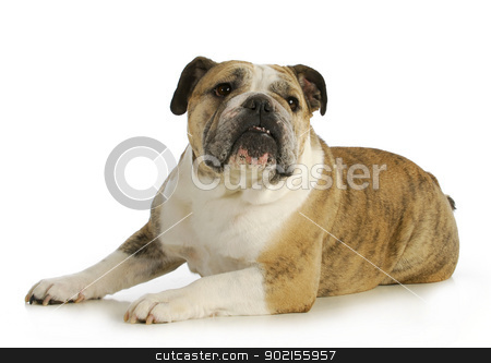 english bulldog stock photo, english bulldog laying down with reflection on white backgroundn- female by John McAllister