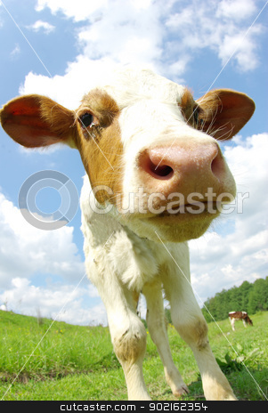 cow  stock photo, cow in the field looking at you by Vitaliy Pakhnyushchyy