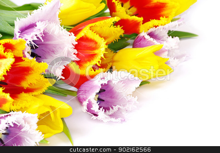 tulips  stock photo, bouquet of the fresh tulips on white background by Vitaliy Pakhnyushchyy
