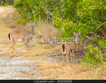 Small Key Deer in woods Florida Keys stock photo, Endangered and rare Key deer fawn in woods in Big Pine Key on Florida Keys by Steven Heap