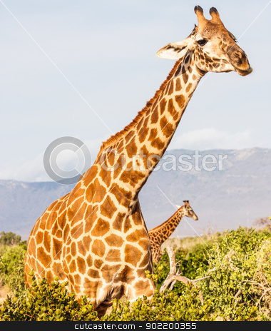 Free Giraffe in Kenya stock photo, Kenya, Tsavo East National Park. Free giraffe in sunset light. by Perseomedusa